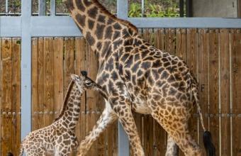 Oh boy! Er is een nieuw Giraffekalf in Disney's Animal Kingdom Theme Park geboren en het is een jongen!
