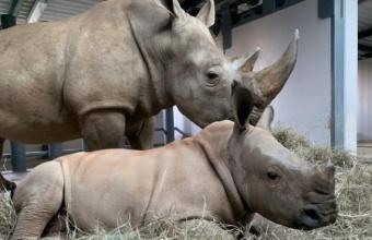 Baby White Rhino krijgt naam bij Disney's Animal Kingdom